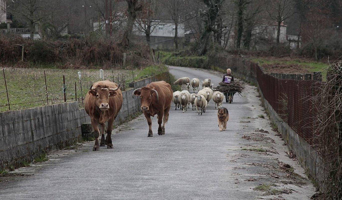 """Maruja, de Filgueira ( O Irixo) con sus vacas y sus ovejas, """"as únicas que hai na zona"""", y que sirven de desbroce natural al pueblo. (Fotos: Miguel Ángel)"""