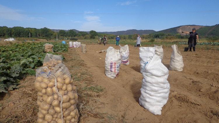 Vecinos de Tamagos, recolectando patatas en una finca situada cerca a la carretera N-532 (Foto: A.R.)