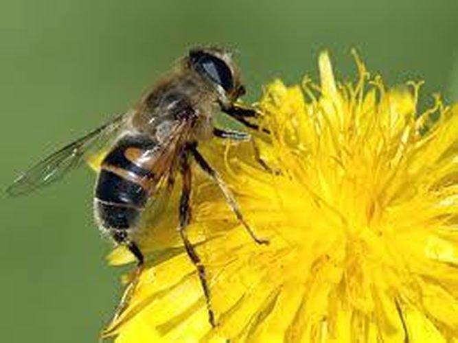 Por qué mueren las abejas después de picar? - Xornal Escolar - La ...