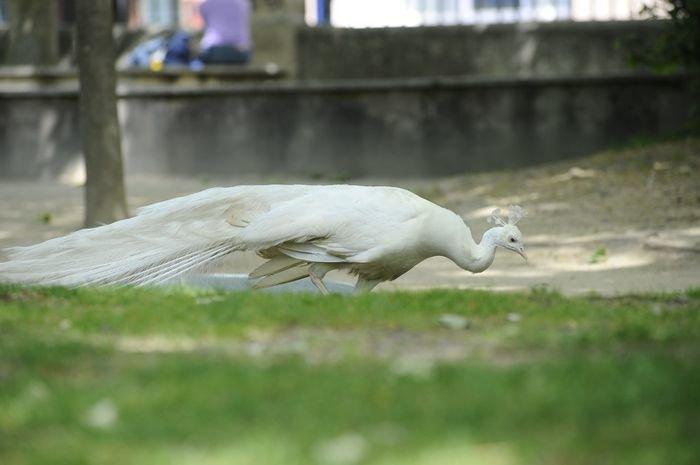 Fallece el pavo real albino del pos o ourense la for Jardin del posio ourense