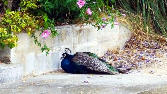 La tristeza del pavo del pos o de los lectores la for Jardin del posio ourense