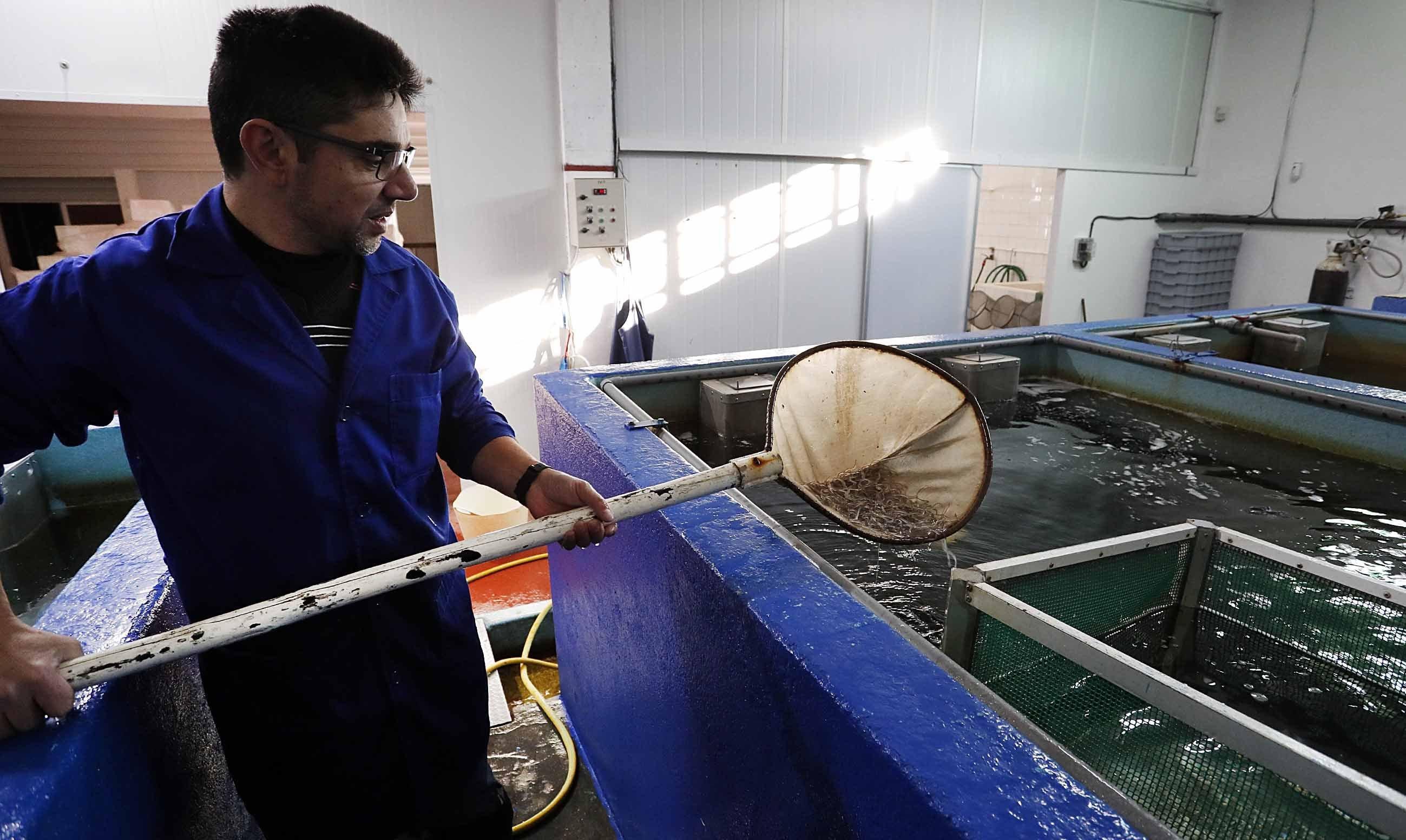 La angula puede alcanzar los 900 euros el kilo este a o for Viveros ourense
