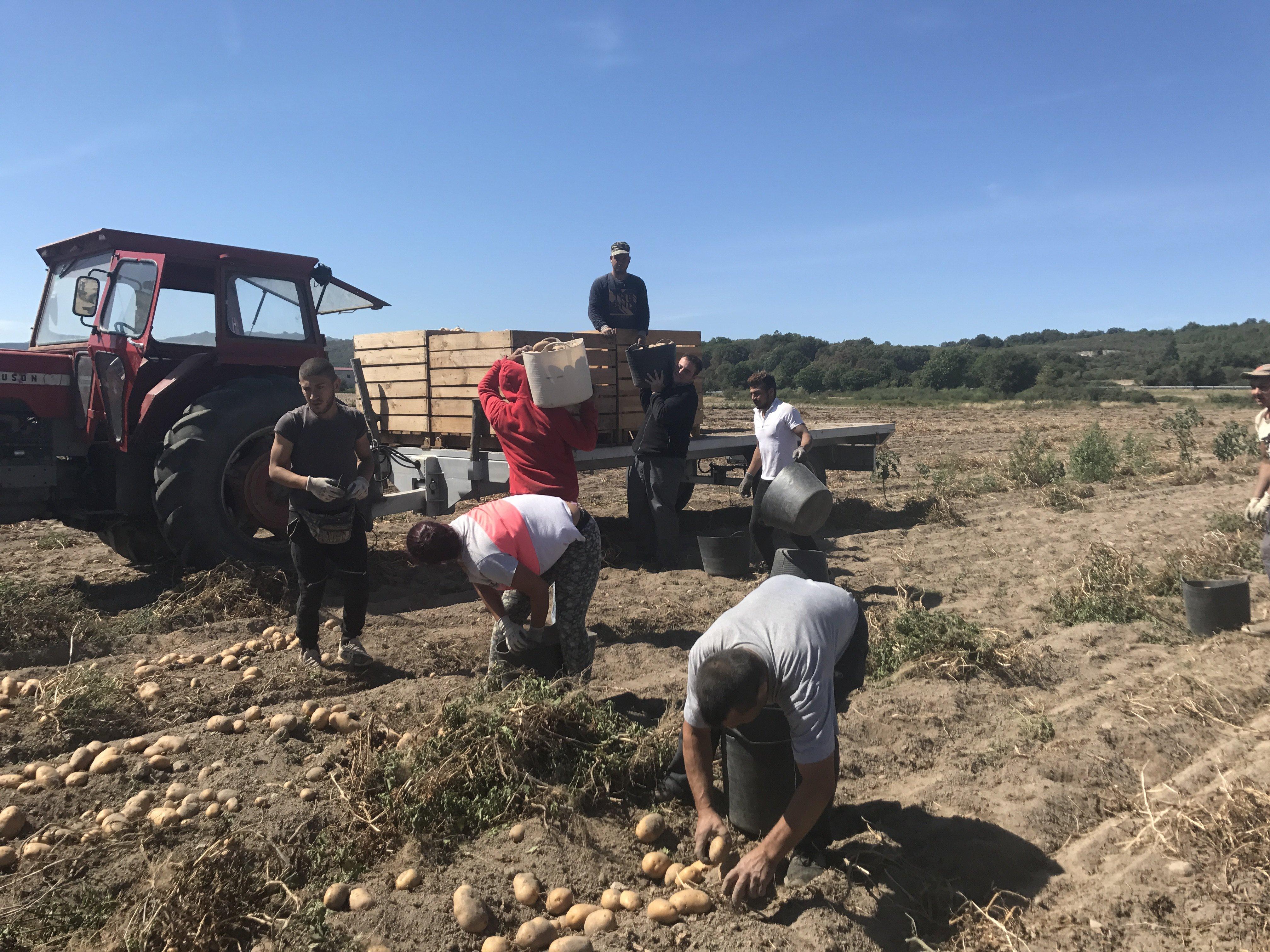 Trabajo recogida de patatas