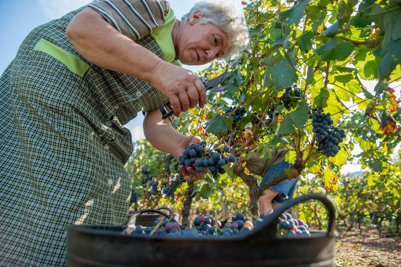 La DO Ribeiro extrema el control de la uva foránea con 28 inspectores y supervisiones sorpresa