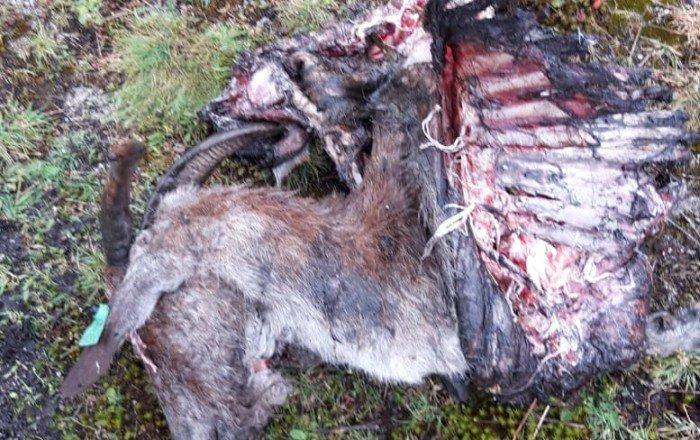 Parte del cadáver de una de las cabras, hallado en el monte.